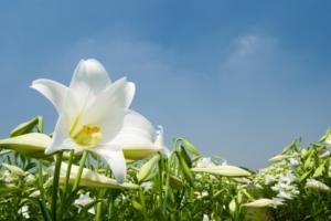 wild White lily under sunlight